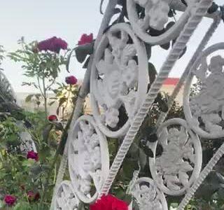 Hoa hồng nở trong vườn nhà Giáng My